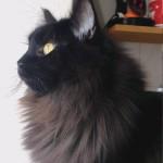 Fellnasen, Black Main Coon, artgerechtes Katzenfutter